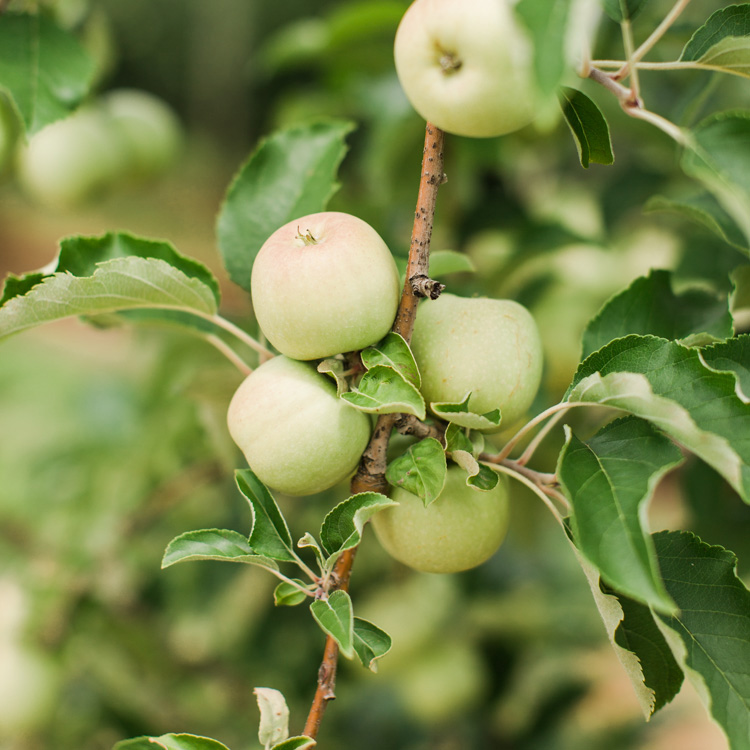 13 Georgia Apple Orchards You Should Visit This Fall