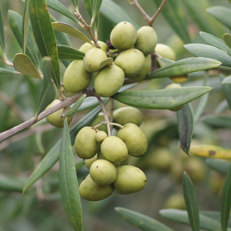 Georgia Olive Farms