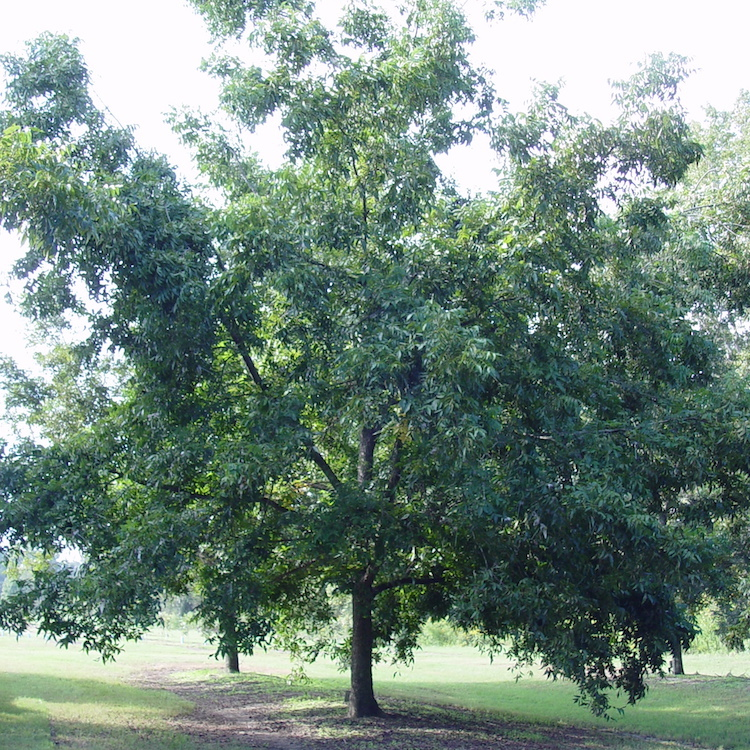 Pecan growers: Pick new varieties when replanting