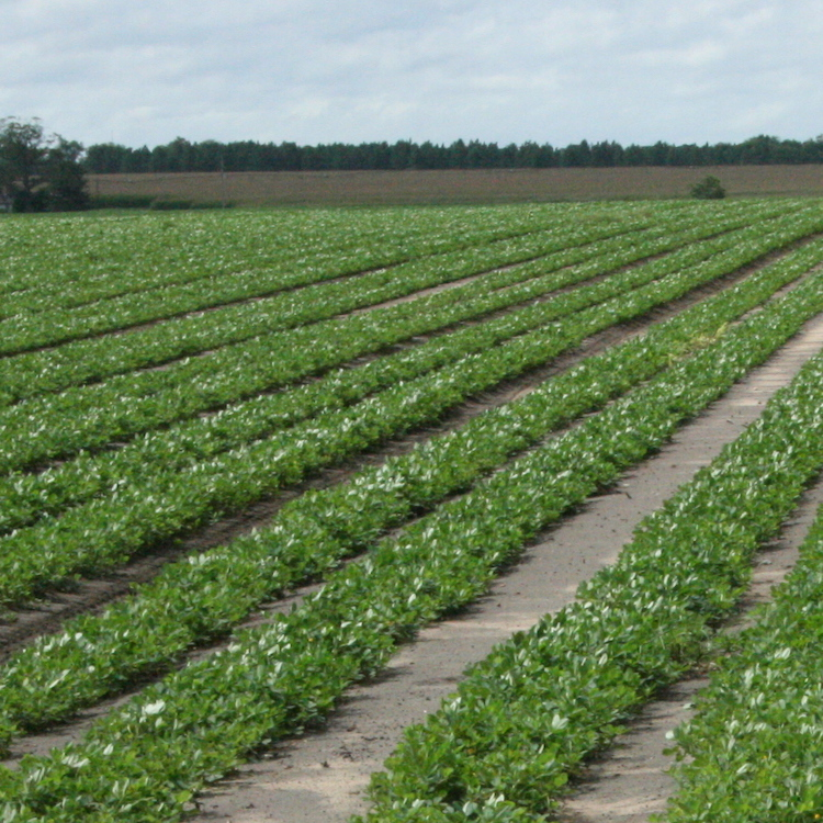 Peanut growers encouraged not to increase acreage