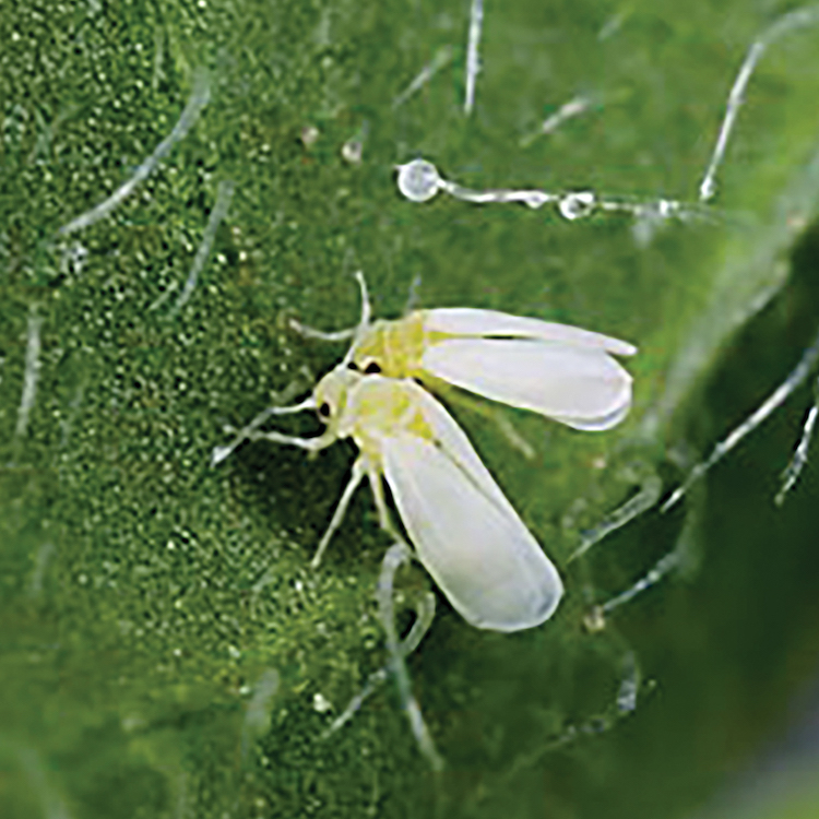 Whiteflies bugging vegetable & cotton producers