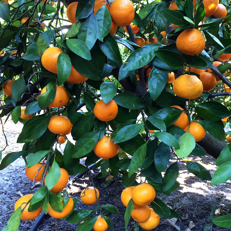 Market ripe for Satsumas but producers told to prepare for greening